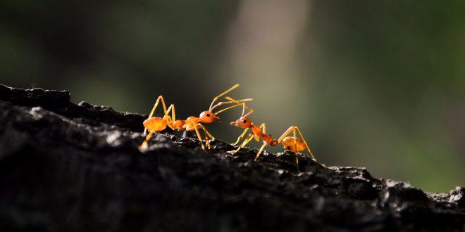 Kahve Yetiştiren Karıncalar