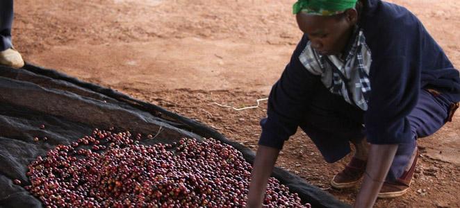 Kenya Kahvesi
